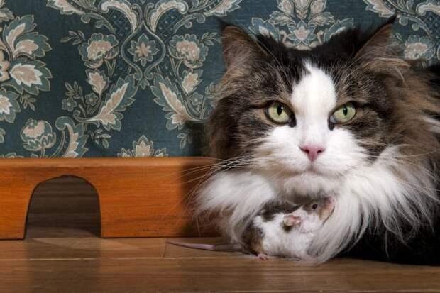 Можно ли научить городскую кошку ловить мышей на даче?