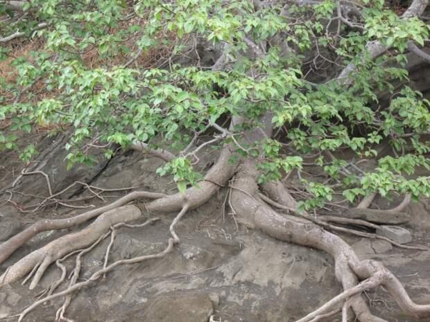 Манцинелла. Самое ядовитое дерево в мире! | Человек и Мир | Яндекс Дзен