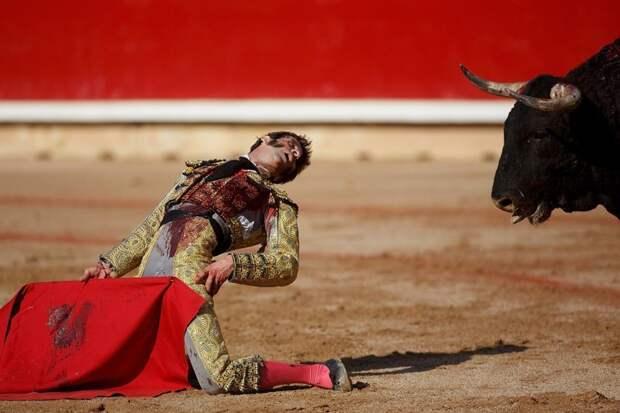 Испанец снова едва не погиб, когда не смог взять быка за рога во время выступления в небольшом городке Аревало. Разъяренное животное буквально сорвало скальп у матадора. Но Хосе снова остался жив, и даже не потерял сознания бык, в мире, животные, испания, коррида, матадор, скальп, травма