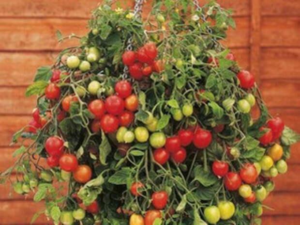 Популярные сорта томатов черри