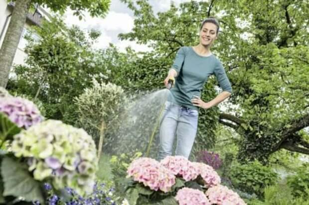 На зависть соседям: как в три шага заставить гортензию цвести пышно