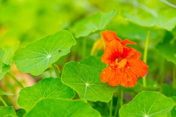 Beautiful orange nasturtium flower in close up. Popular garden flower in close up.