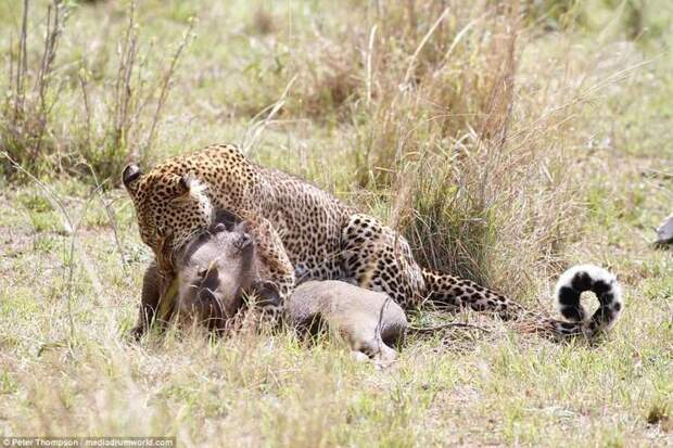 Миссия выполнена битва животных, бородавочник, заповедник, кения, леопард, масаи-мара, самка, схватка