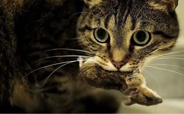 Почему коты приносят Вам дохлых мышей?, изображение №1