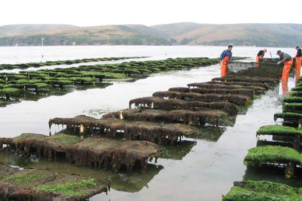 Как выращивают устриц? 8 фото с устричных ферм