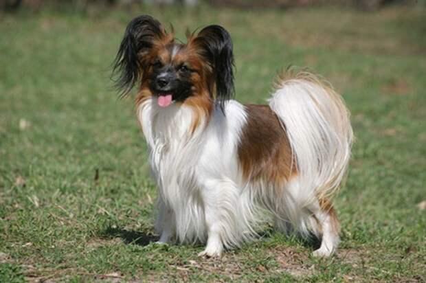 Умнейшие породы собак
