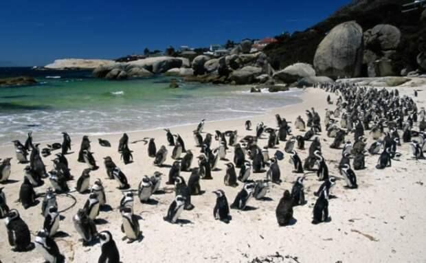 Пингвины подходят довольно близко к жилищу человека.