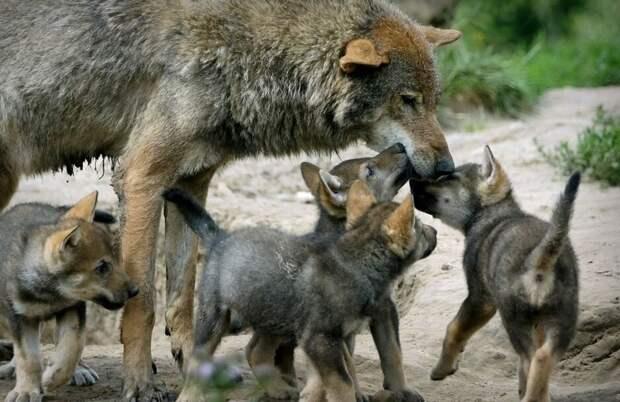 """""""С волками жить - по волчьи выть"""". - большое заблуждение."""