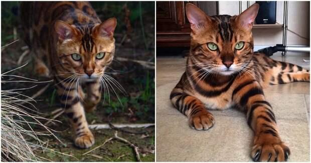 Дикий окрас и дружелюбная натура. Знакомьтесь, бенгальский кот по кличке Тор