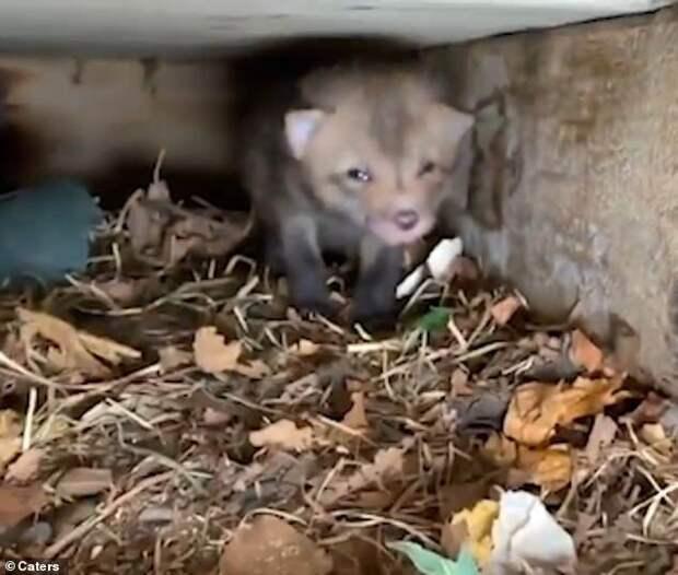 В Канаде лиса родила лисят прямо под крыльцом дома