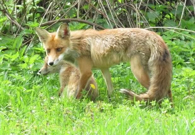 В долине реки Сходни в Куркине началась вакцинация лис от бешенства