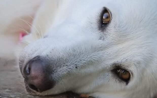 Спасенная белая овчарка принесла милый сюрприз своим спасителям