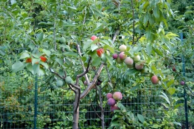 В его коллекции есть дерево на котором одновременно растут и зреют плоды почти сорока видов косточковых растений Фабрика идей, дерево-сад, интересное, растения, садоводство, факты