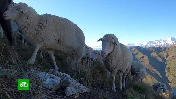 Стадное чувство: в Дагестане заканчивается осенний перегон овец