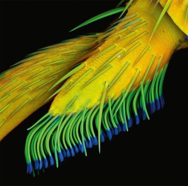 Липкая подушечка первой ноги жука-усача (Clytus sp.)