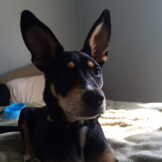 25 самых необычных пород собак, полученных в результате скрещивания