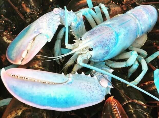Голубеют омары из-за мутации, влияющей на выработку протеина, ответственного за синий цвет.