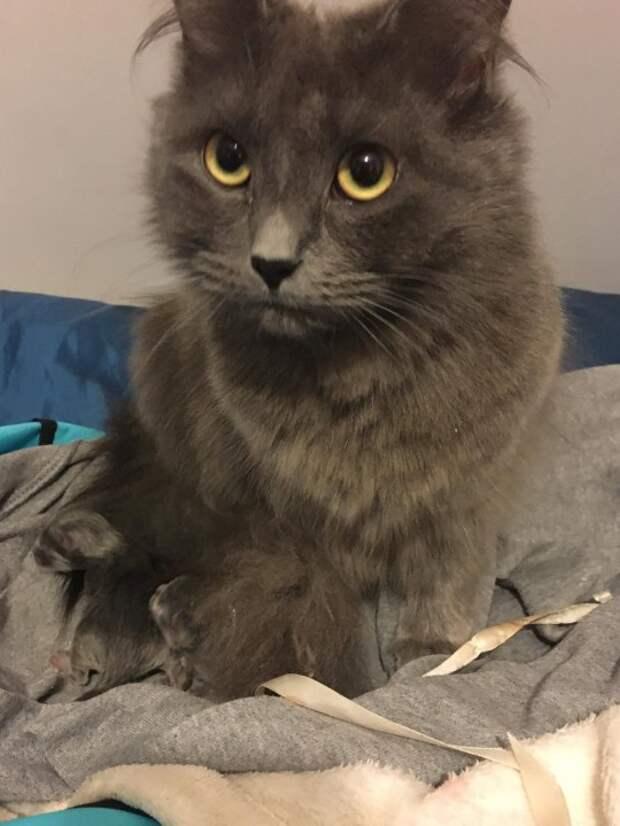 Дневник кошатницы: Если честно, кошка не очень похожа на русскую голубую, но позиционируют ее так в новостях. Фото Kirsty Flann / SWNS.COM