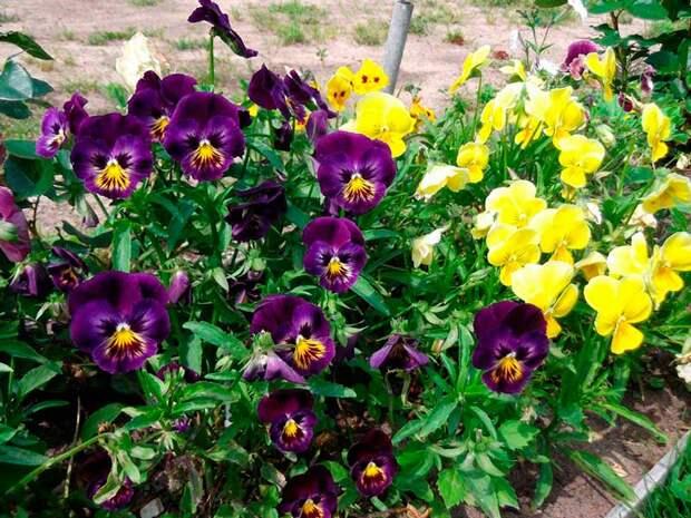 Лекарственное растение Фиалка трехцветная, анютины глазки (Viola tricolor)