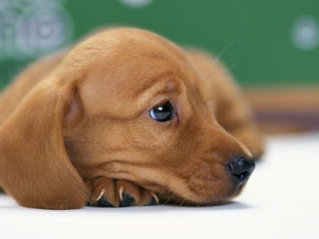 Скачать обои Собака, щенок, такса, песик - картинка #9116 c разрешением 1280x768