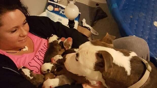 Трогательное видео: мама-питбуль доверяет своих новорожденных щенков хозяйке