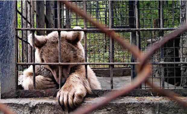 Спасательная команда насчитала около 80 медведей, находящихся в подобной ситуации на территории Армении.
