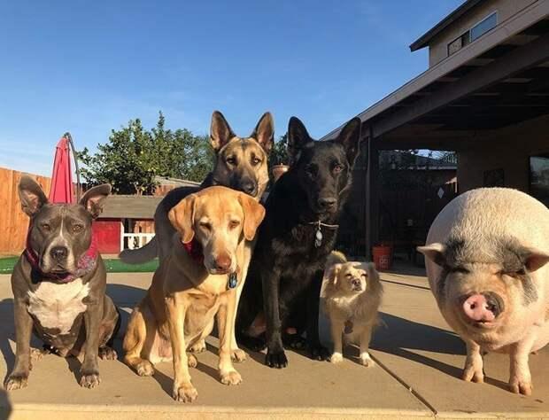 И любят все вместе гулять во дворе Похлебка, домашний питомец, животные, милота, свинья, собаки