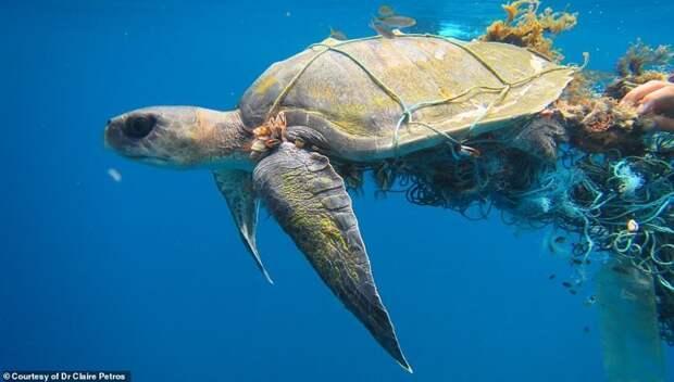 Ежегодно сотни черепах попадают в рыболовные сети и запутываются в них. Если их вовремя не освободить, животные погибают от голода или асфиксии Мальдивы, ветеринар, реабилитация, сети, спасение животных, спасение черепахи, черепаха, черепахи