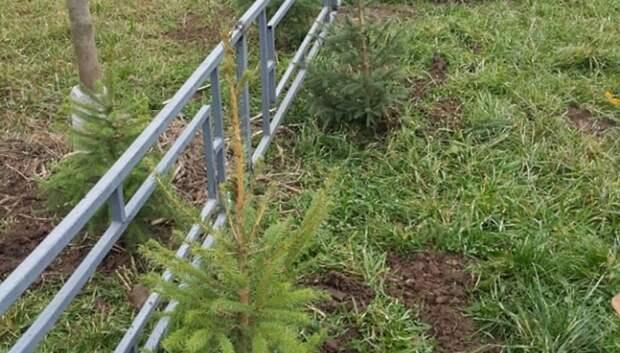 Более 50 деревьев высадили во дворе микрорайона Кузнечики в Подольске