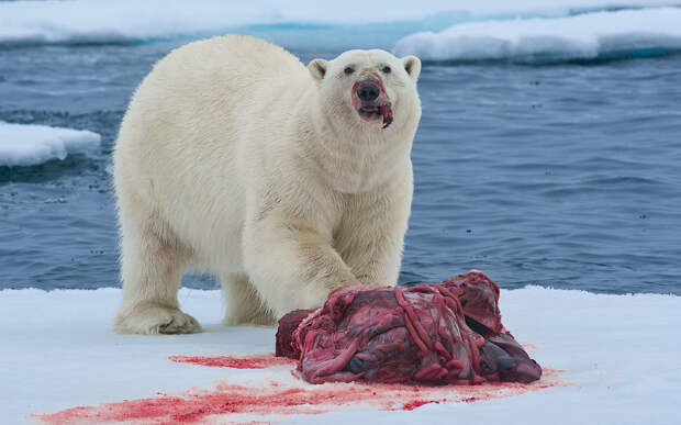 Когда подкрался арктический песец.