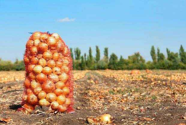 Мешок с луком в поле