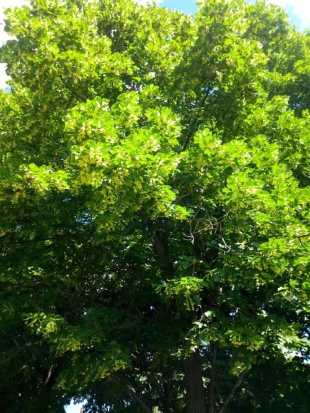 Фото дня: в Алтуфьевском зацветает липа