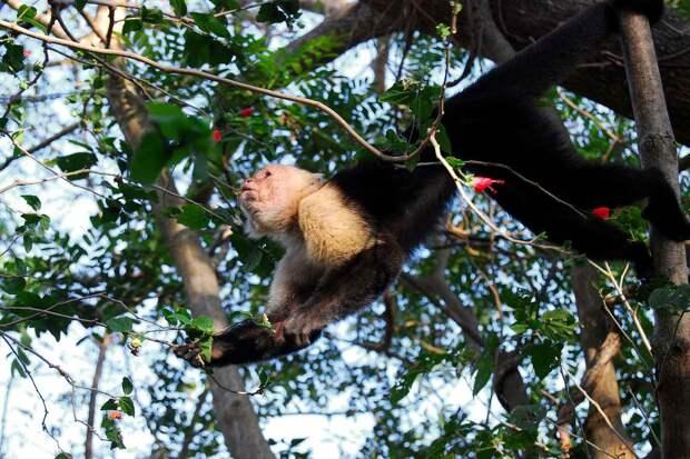 Капуцин обыкновенный на дереве