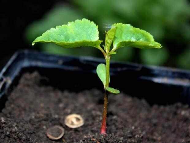 Можно ли вырастить черешню из косточки?