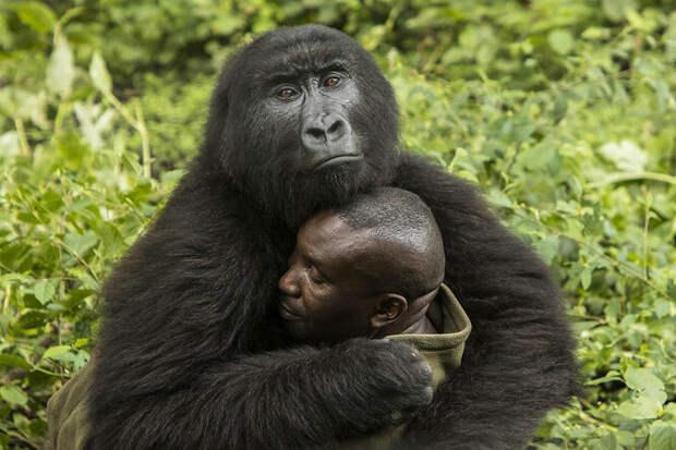 горилла обнимает человека