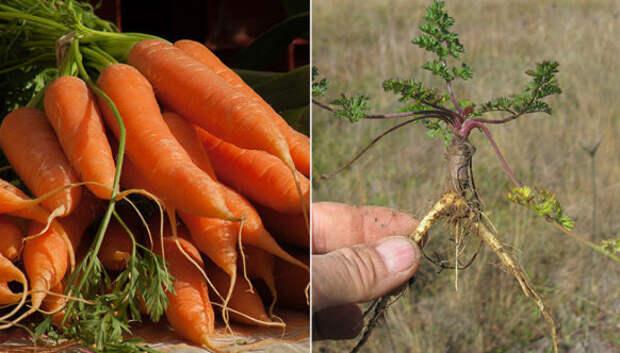 Бананы с косточками, синяя морковь-малютка: как выглядели первобытные «предки» современных фруктов и овощей