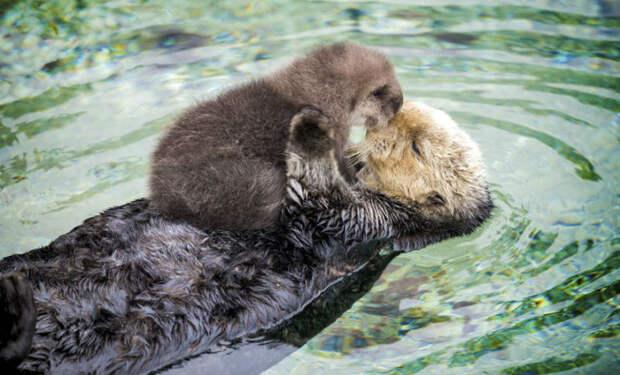 Малышка выдра 1 дня от роду уснула на животе плавающей матери