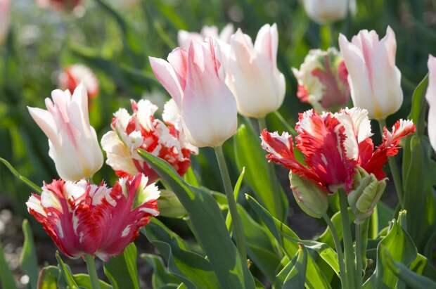 Тюльпаны мультифлора в саду