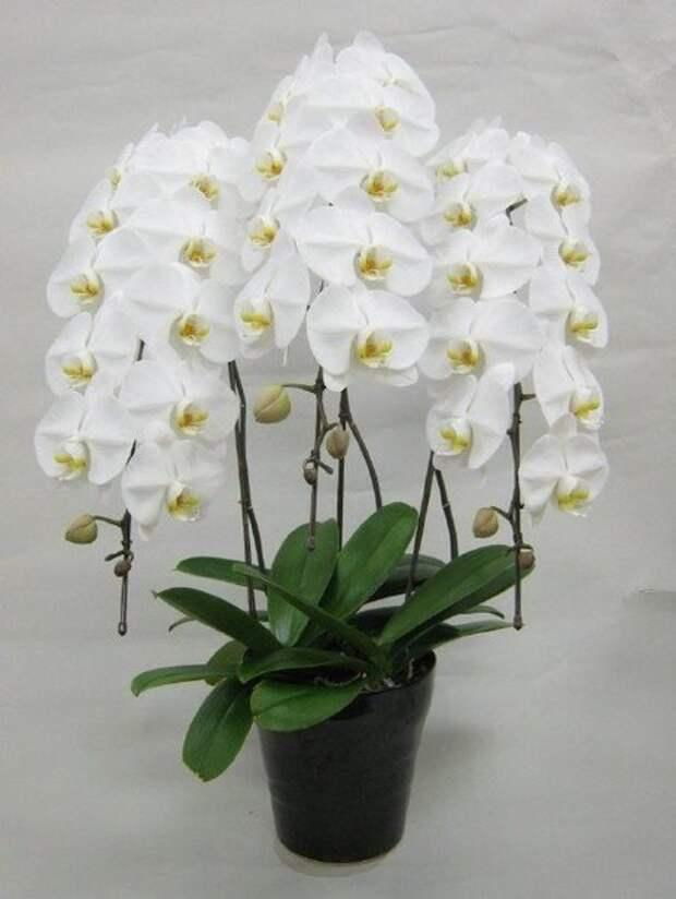 ●Как размножать орхидею фаленопсис●