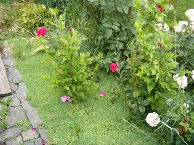 Роль многолетних стелющихся почвопокровников в дизайне сада