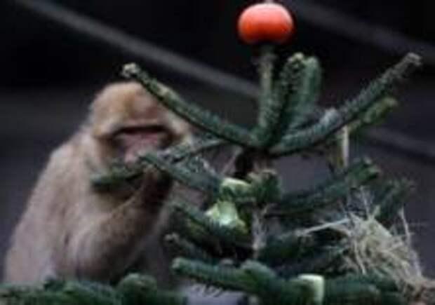 В берлинском зоопарке животным скормили новогодние ёлки