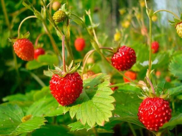 Как утроить урожай земляники: простые советы начинающему садоводу