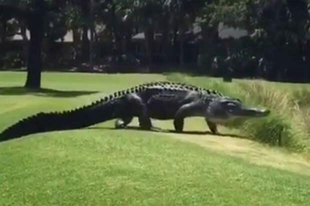 Огромный крокодил из кустов: вышел на поле для гольфа