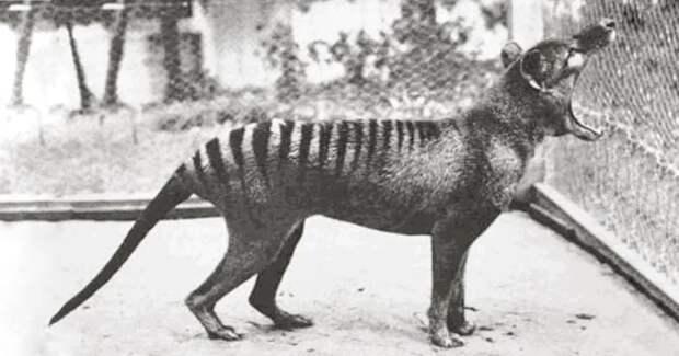 Что увидели ученые на уникальных кинокадрах о тасманском тигре, который исчез 100 лет назад