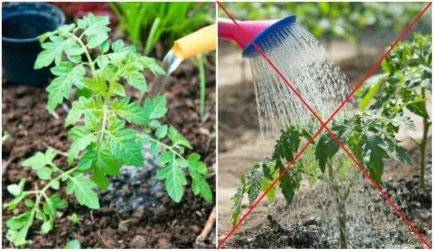 Правильный полив томатов