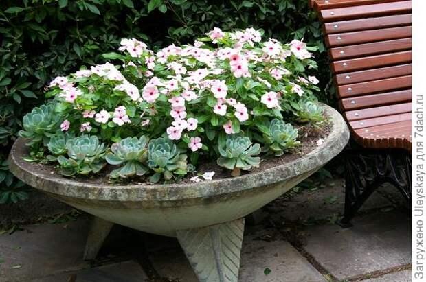 Катарантус розовый в стационарной садовой вазе с эхеверией
