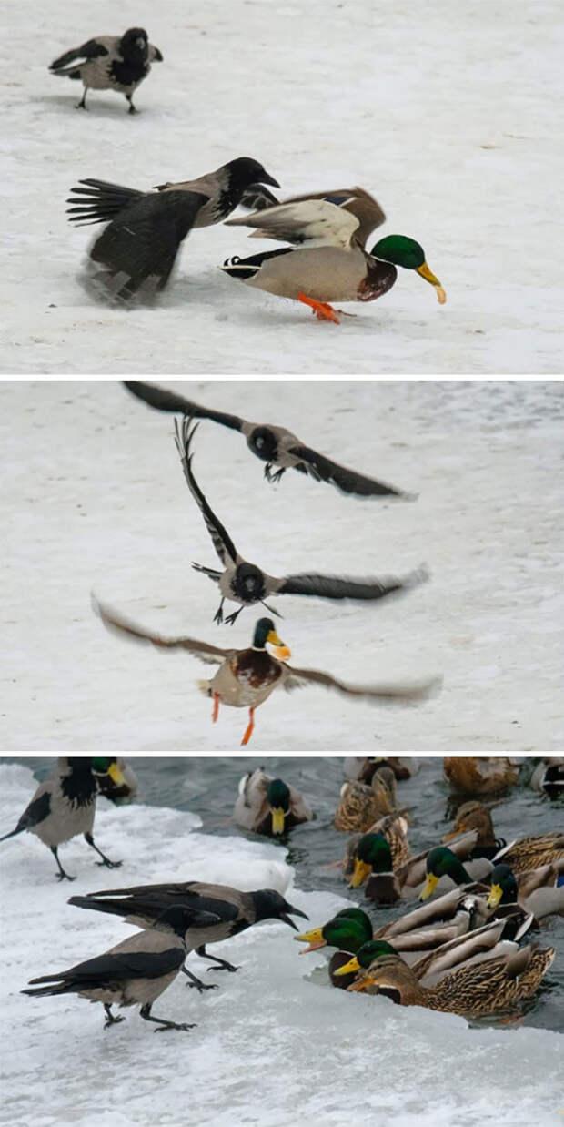Утки против ворон вороны, животные, птицы, фото