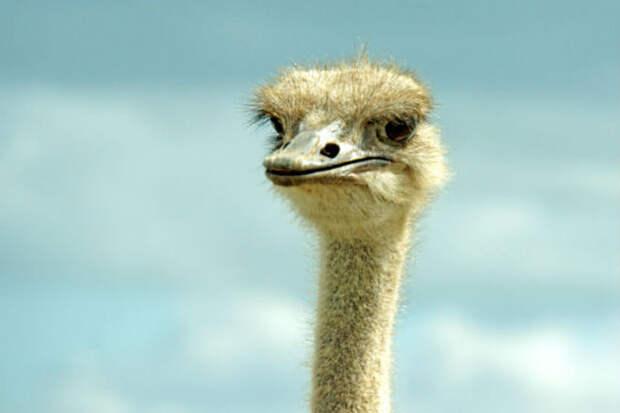 Турист решил позадирать страуса и получил урок