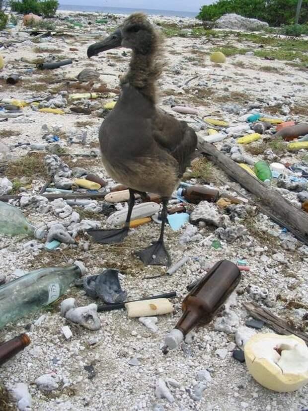 Kure-Atoll_Albatross