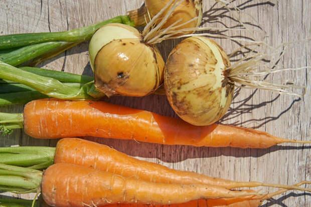 Лук и морковь - самые распространенные и дружественные культуры на наших дачах